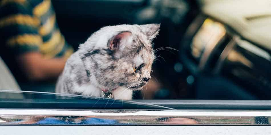 cat breeds that like to travel