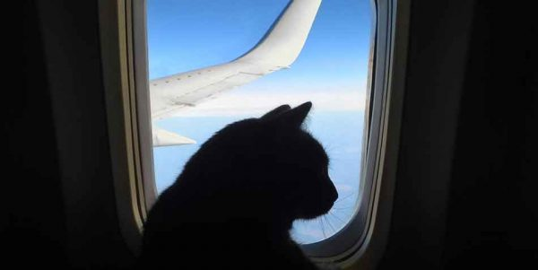 how to prepare your cat for air travel