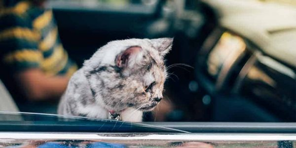 how to calm a cat down in the car