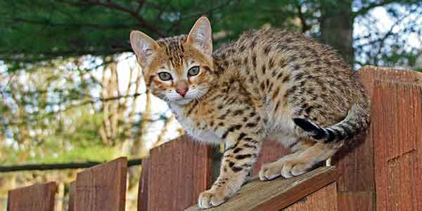 best dry food for savannah cat