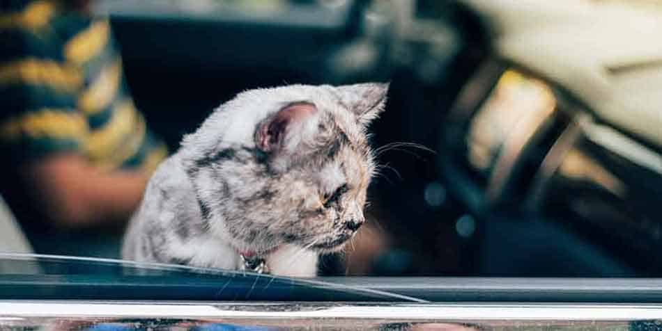 how to keep a cat cool in the car
