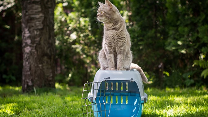 how do you get a semi feral cat in a carrier