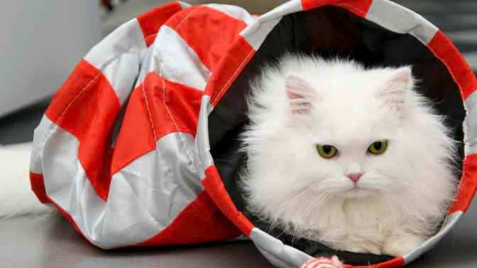 are Persian Cats high maintenance