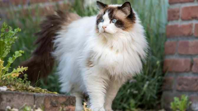 are Ragdoll cats indoor or outdoor