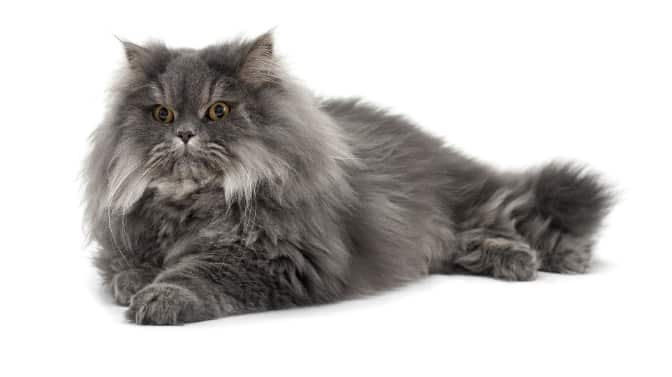 how do you know if my Persian cat loves me