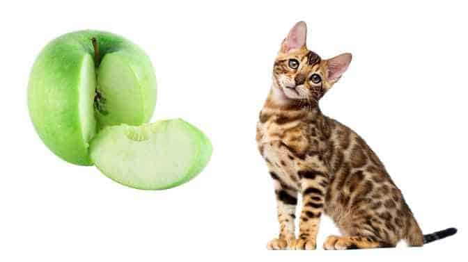 can Bengal cats eat apples