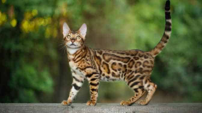 do bengal cats have fur, pelt or hair