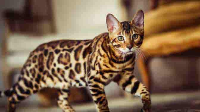 do Bengal cats need to be walked