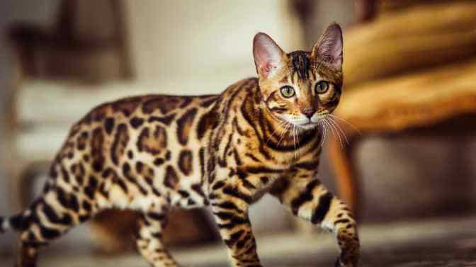 why do Bengal cats meow so much