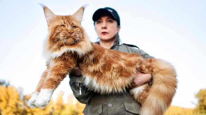 do Maine Coon cats like to be held