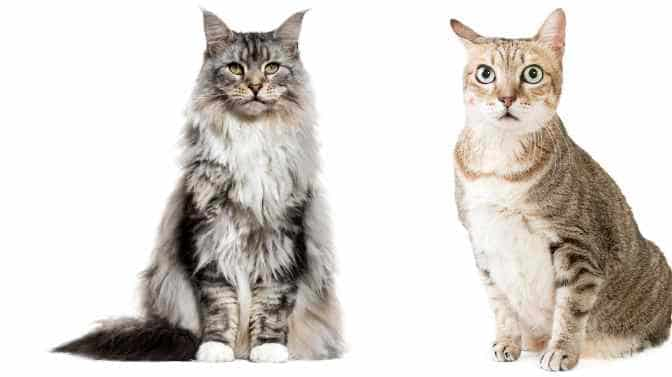 what is the difference between a Maine Coon and a tabby cat