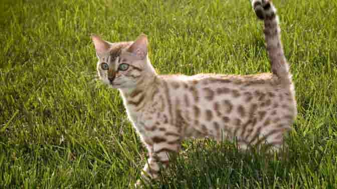 are Bengal cats indoor or outdoor cats