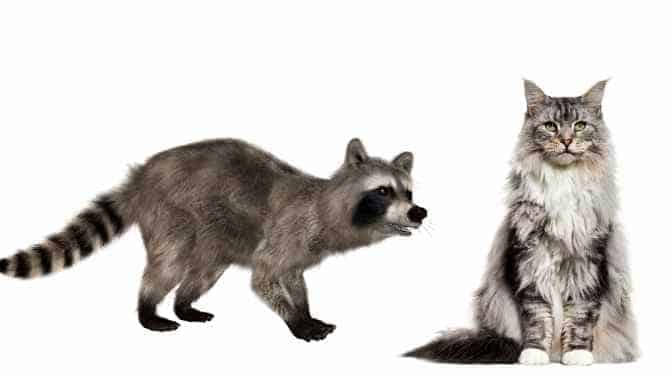 is a Maine Coon cat part raccoon