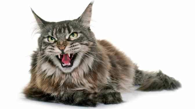 why is my Maine Coon so aggressive